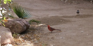A northern cardinal meanders along a Phoenix Zoo trail.