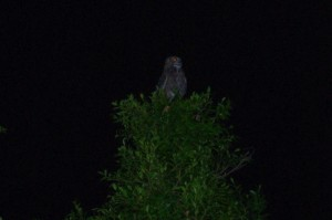 A great horned owl perches in a neighborhood tree and looks for breakfast.