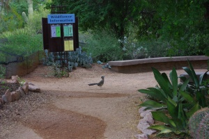 A roadrunner stops along the Desert Wildflower Loop Trail at the Desert Botanical Garden.