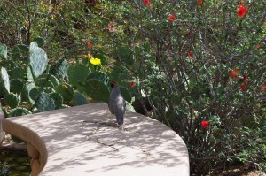 Gambel's quail cluck and crow while darting along the Desert Botanical Garden's trails.