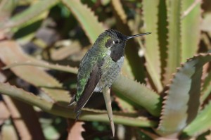 A Costa's hummingbird rests on a plant at the Desert Botanical Garden.