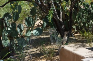 A roadrunner stops for a cool drink at a secluded spot off a Desert Botanical Garden trail.